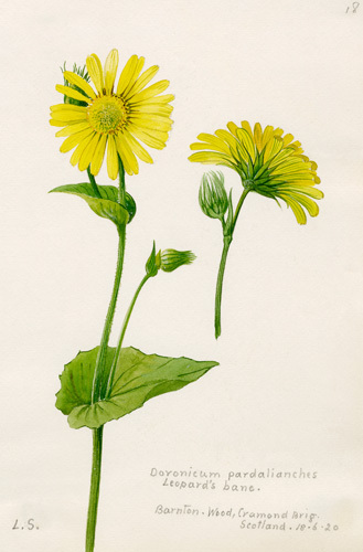 Doronicum pardalianches by Lillian Snelling