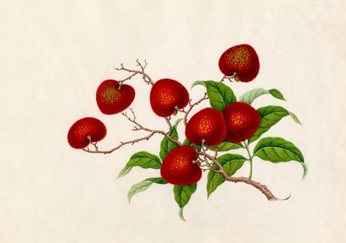 Litchi chinensis by Wang Lui Chi