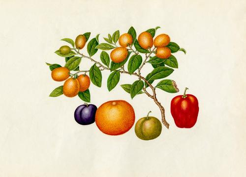 Fortunella margarita, Annona reticulata, Prunus domestica, Citrus sinensis by Wang Lui Chi
