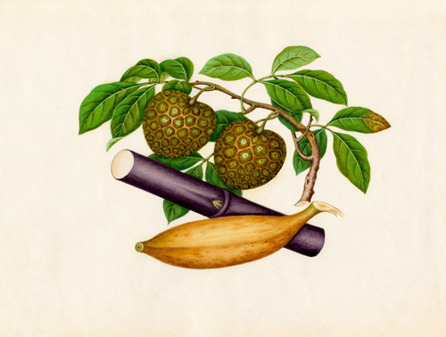 Annona squamosa, Musa x paradisiaca, Saccharum officinarum by Wang Lui Chi