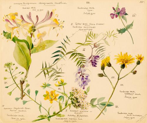 i. Lonicera periclymenum, ii. Vicia cracca, iii. Crepis pulcra, iv. Bursa pastoris, v. Achillea millefolium by Lillian Snelling