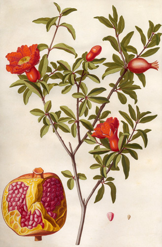 Punica granatum by Claude Aubriet