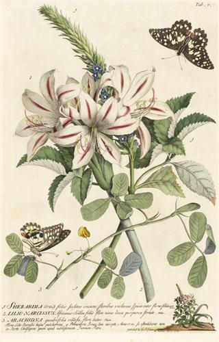 1.Sherardia, 2. Lilio-Narcissus, 3. Arachidna by Georg Dionysus Ehret