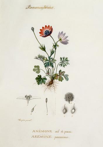 Anemone , Oeil de paon, Pavonina by Pierre Jean Francois Turpin