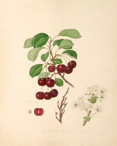 The Morello Cherry by William Hooker