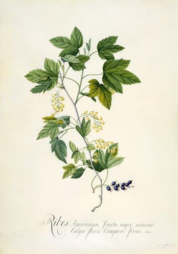 Ribes Americana fructu nigro minimo, Calyce floris campani formi by Georg Dionysus Ehret