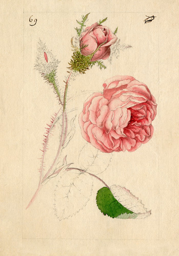 Rosa centifolia 'Muscosa' by William Curtis