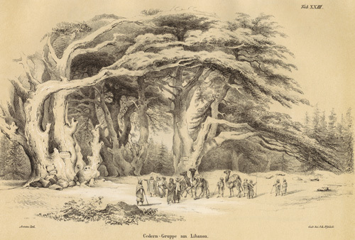 Cedern - Gruppe am Libanon by Franz Antoine