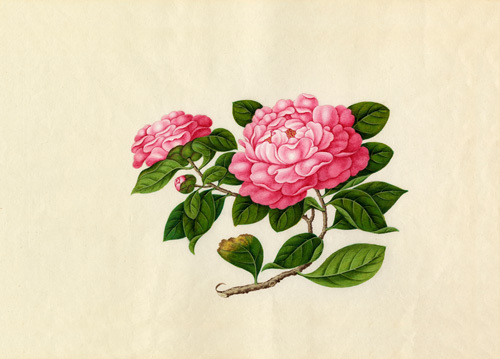 Camellia reticulata by Wang Lui Chi
