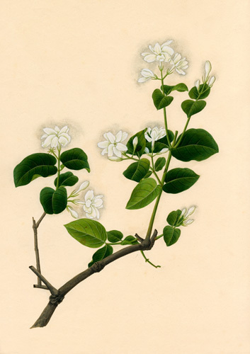 Jasminum sambac by Anonymous