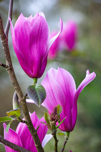 Magnolia 'Spectrum' by Mark Bolton