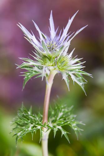 Eryngium alpinum by Lee Beel