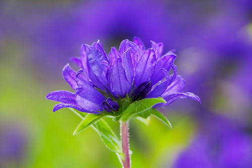 Campanula glomerata by Lee Beel