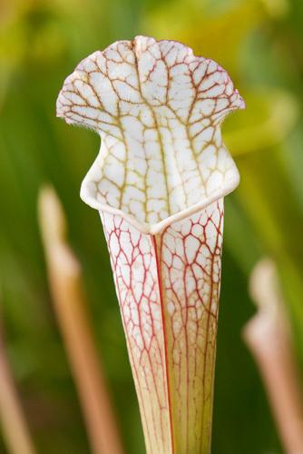 Sarracenia leucophylla by Carol Sheppard