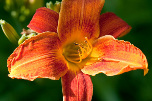 Hemerocallis 'Bright Spark' by Carol Sheppard