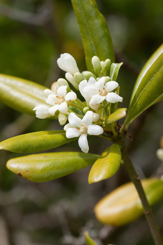 Pittosporum tobira by Carol Sheppard