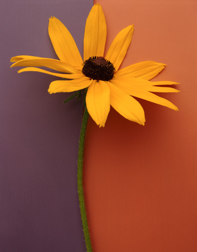 Blackeyed Susan by Deborah Schenck