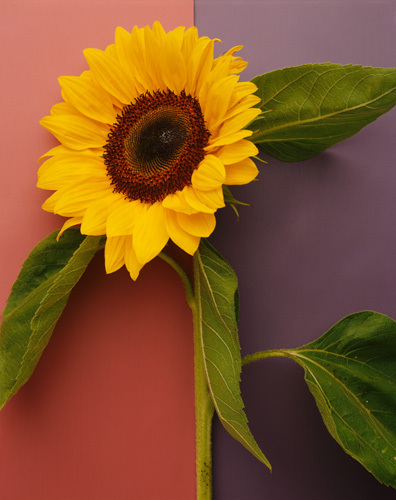 Sunflower by Deborah Schenck