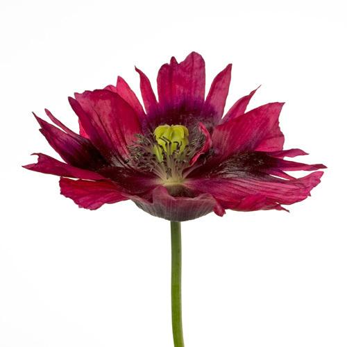 Varied Tulip by Deborah Schenck