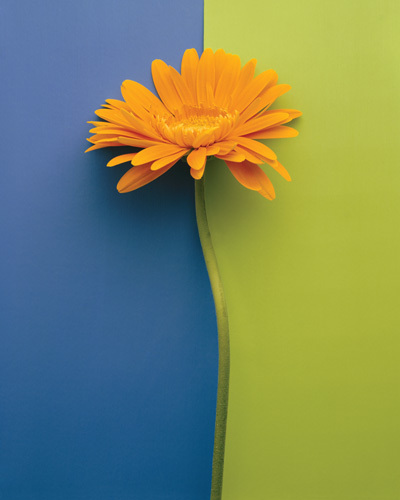 Yellow Gerbera by Deborah Schenck