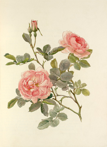 Rosa alba var. rubicunda 'Celestial' by Alfred William Parsons