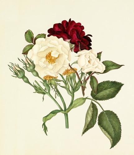 Rosa moschata, Rosa gallica 'Tuscany' by Caroline Maria Applebee