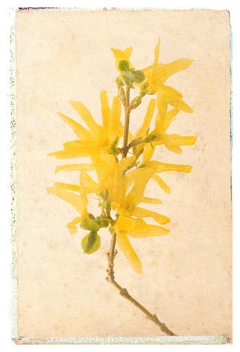 Vintage Forsythia by Deborah Schenck