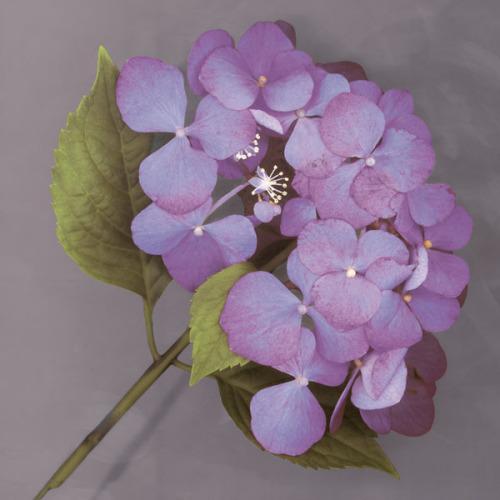 Purple Hydrangea by Erin Clark