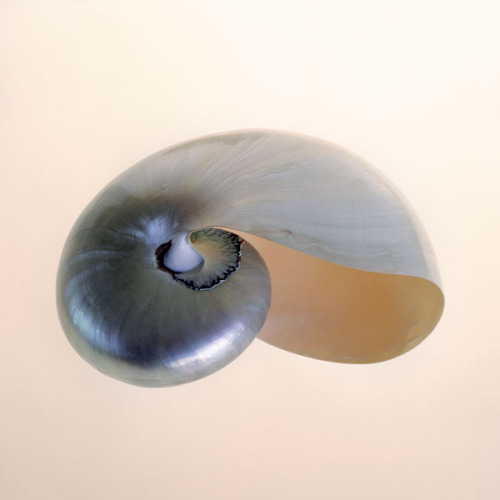 Polished Nautilus by Tom Artin