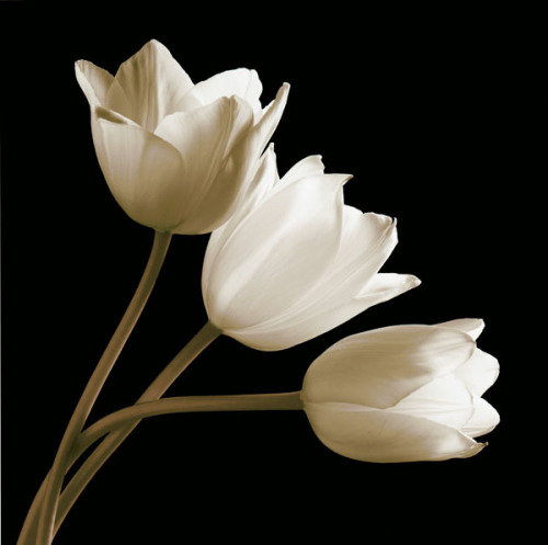 Three Tulips by Michael Harrison