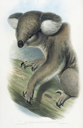 Phascolarctos Cinereus (Koala Bear) by John Gould and Henry Constantine Richter
