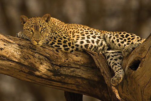 Leopard - Tree by Anonymous