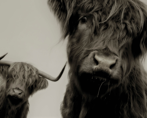 Highland Cattle Study II by Chris Tancock