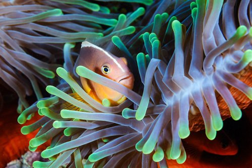 Art Clownfish by Gabriel Barathieu