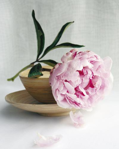 Pivoine rose by Amélie Vuillon