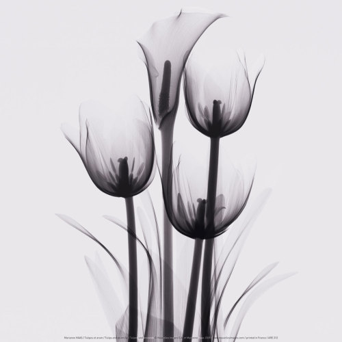 Tulipes et arum by Marianne Haas