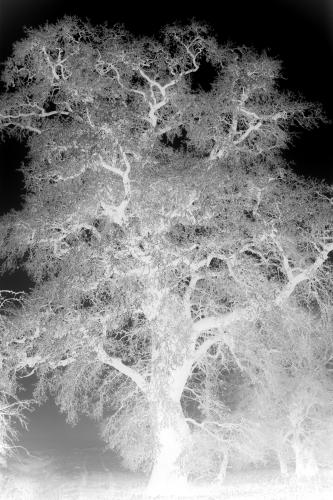 Ghostly Oak by Richard Osbourne