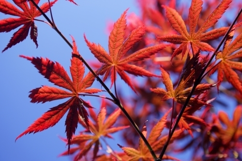 Red Maple Leaves by Richard Osbourne