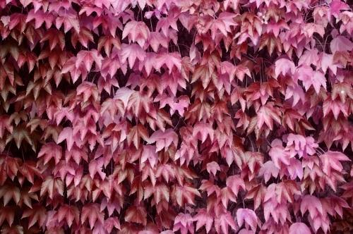 Pink Virginia Creeper by Richard Osbourne