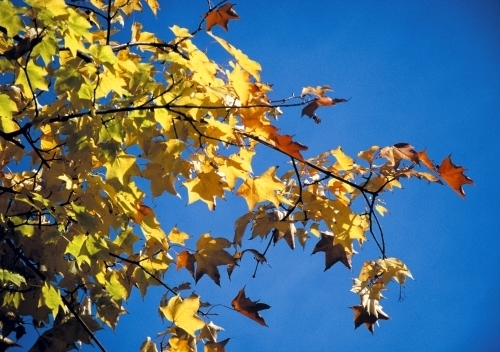 Bright Autumn Leaves by Richard Osbourne