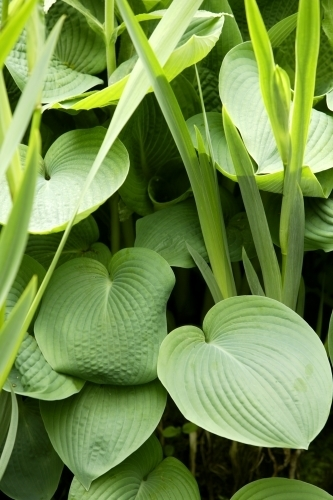 Hosta Leaves by Richard Osbourne