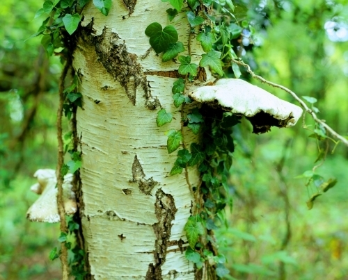 Silver Birch with Fungi by Richard Osbourne