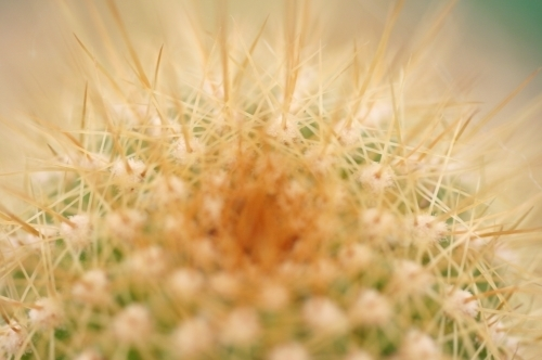 Golden Cactus by Richard Osbourne