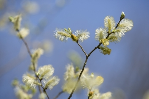 Pussy Willow by Richard Osbourne