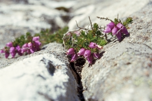 Heather On Rocks by Richard Osbourne