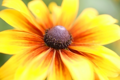 Rudbeckia Flower by Richard Osbourne