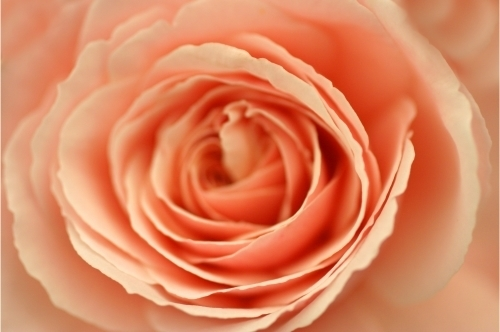 Begonia IV by Richard Osbourne