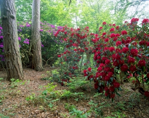 Red Rhododendrons by Richard Osbourne