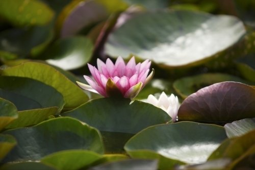 Waterlily III by Richard Osbourne