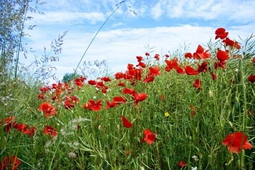 Red Poppies I by Richard Osbourne